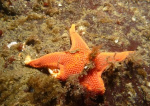A mediaster aequalis suffering from the wasting disease
